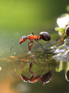 Ant wallpaper 240x320