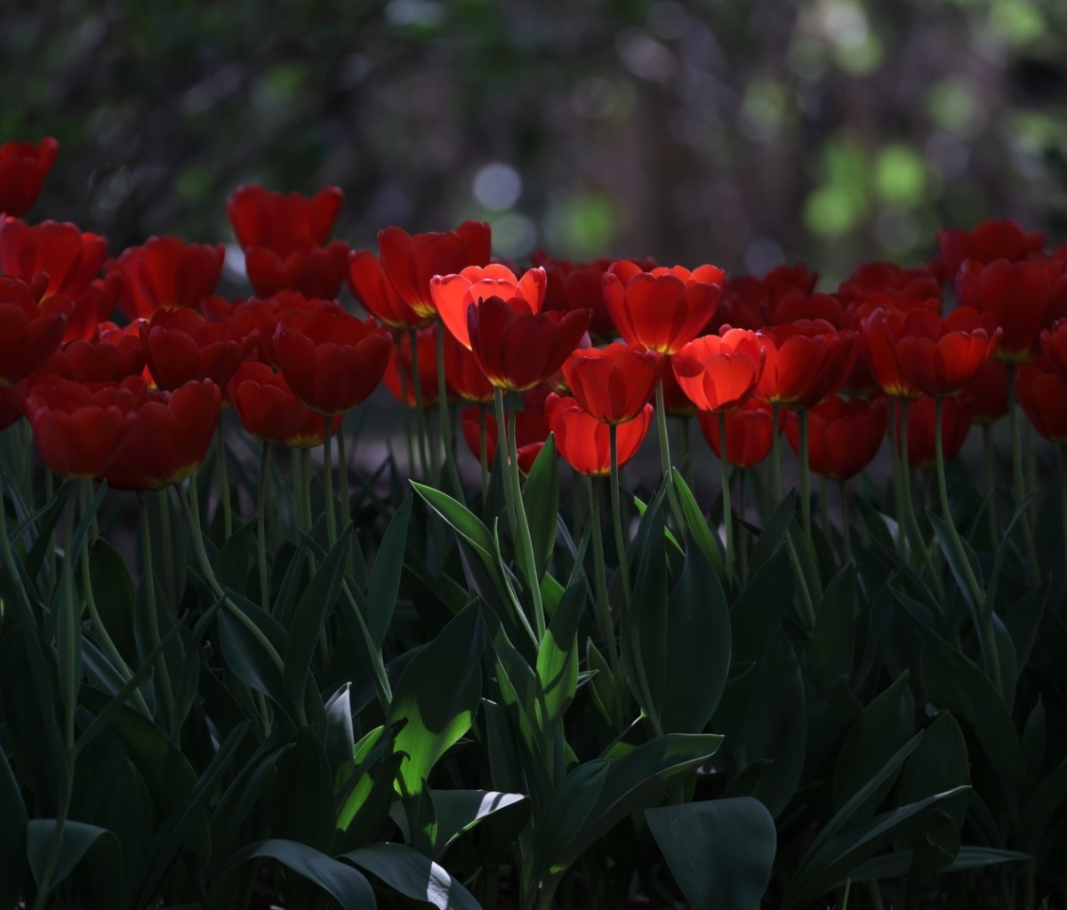 Обои Red Tulips HD 1200x1024