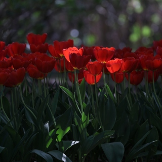 Red Tulips HD Background for 208x208