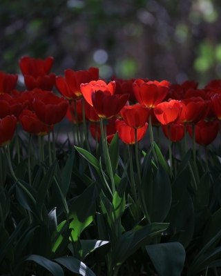 Free Red Tulips HD Picture for Nokia Asha 305
