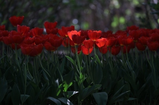 Red Tulips HD sfondi gratuiti per Samsung S5570i Galaxy Pop Plus