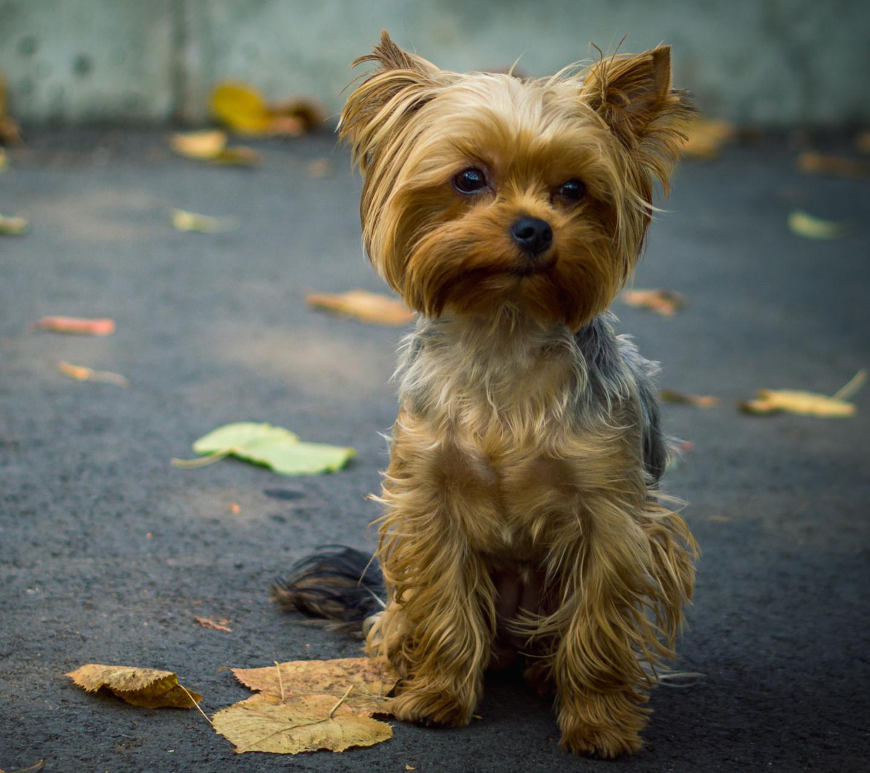 породы картинки на телефон собаки йорки таких людей