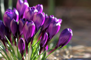 Spring Purple Crocus Background for Android, iPhone and iPad