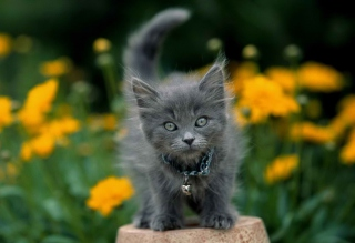 Little Blue Kitten With Necklace sfondi gratuiti per Android 720x1280