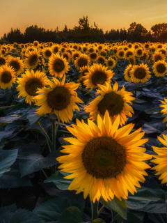 Screenshot №1 pro téma Prettiest Sunflower Fields 240x320
