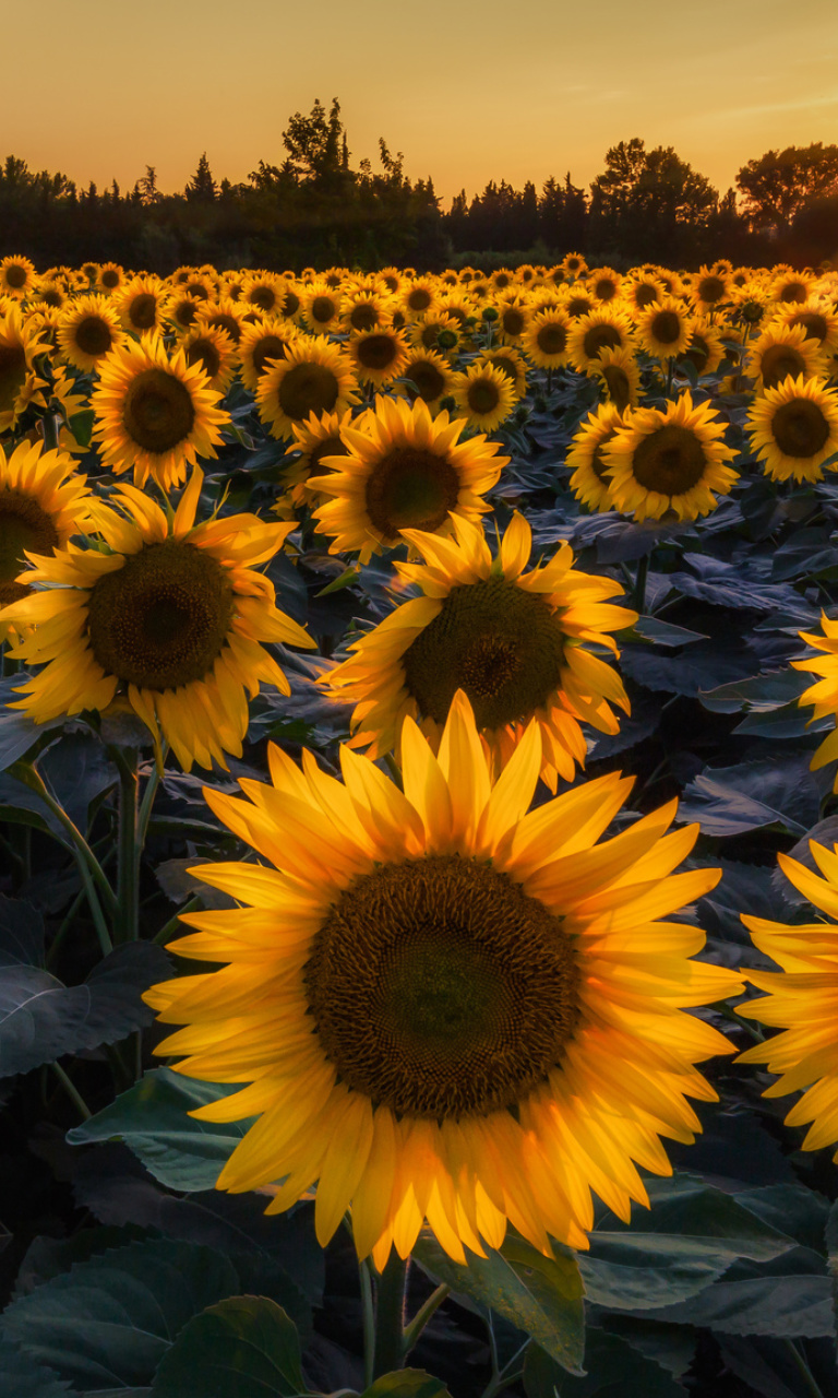Sfondi Prettiest Sunflower Fields 768x1280