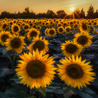 Prettiest Sunflower Fields sfondi gratuiti per 1024x1024