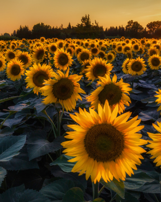 Prettiest Sunflower Fields Background for 240x320