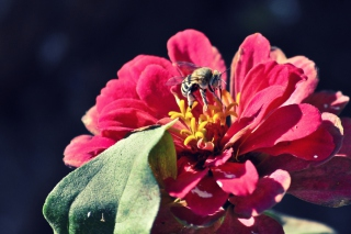 Bee On Flower - Fondos de pantalla gratis