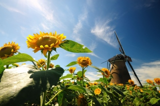 Mill In Sunflower Field Background for Android, iPhone and iPad
