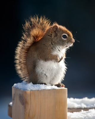 Cute squirrel in winter Wallpaper for Nokia Asha 305