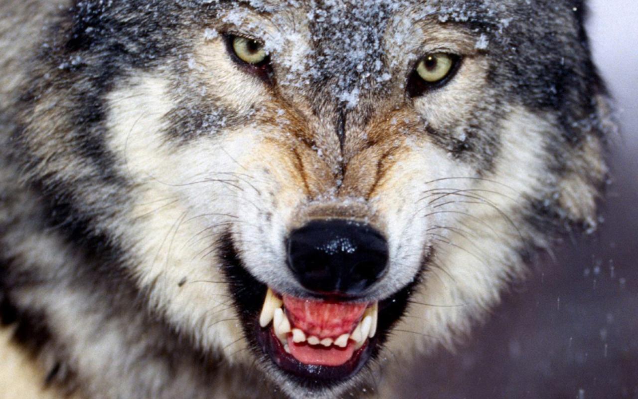 злой волк фото на телефон проверена вирусов найдено
