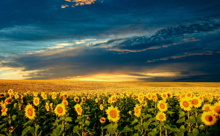 Обои Sunflower Meadow