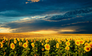 Sunflower Meadow Picture for Samsung Galaxy Note 4