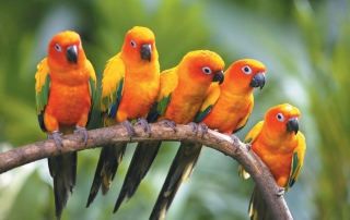Yellow Parrots Wallpaper for Android, iPhone and iPad