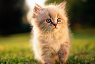 Free Kitten Picture for Android, iPhone and iPad