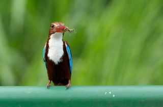 Обои White Breasted Kingfisher на андроид