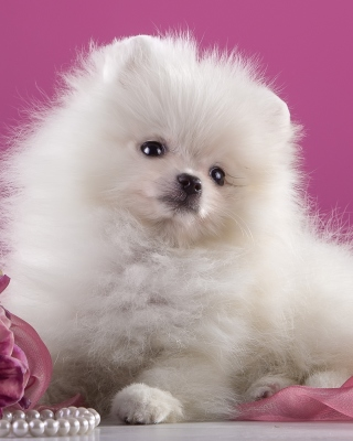 Spitz Puppy Wallpaper for Nokia C1-01