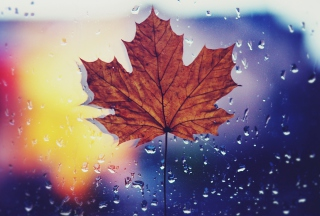 Dried Maple Leaf - Fondos de pantalla gratis