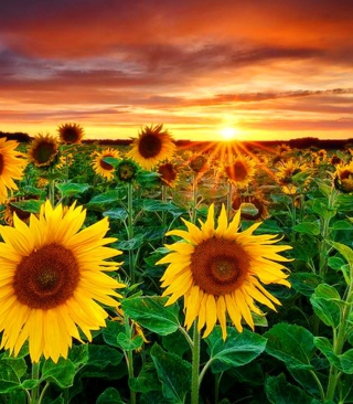 Beautiful Sunflower Field At Sunset sfondi gratuiti per Nokia Lumia 925