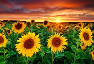 Free Beautiful Sunflower Field At Sunset Picture for Android, iPhone and iPad
