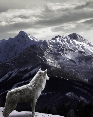 Wolf in Mountain Background for Nokia Asha 306