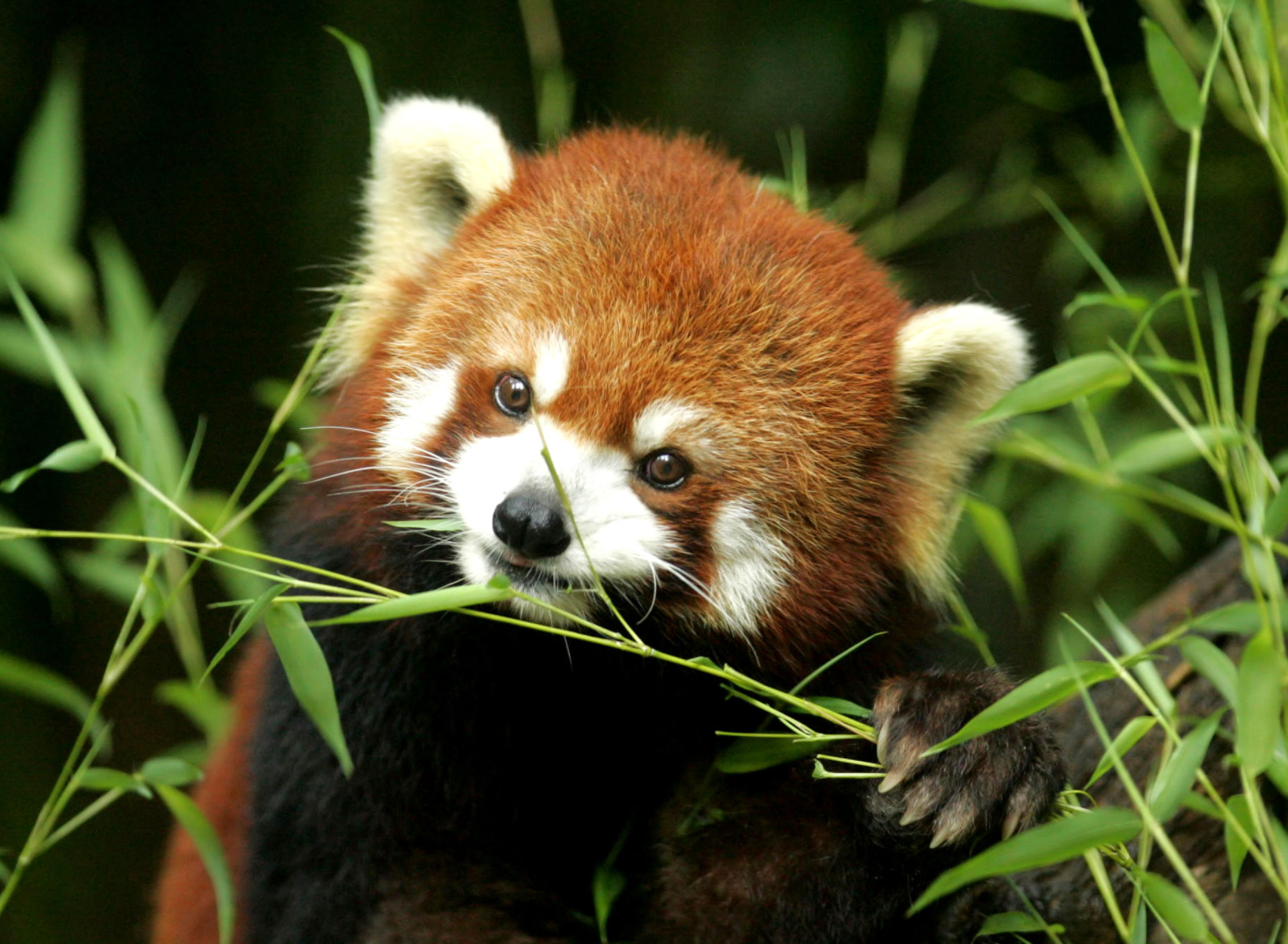 Screenshot №1 pro téma Bamboo Feast Red Panda 1920x1408