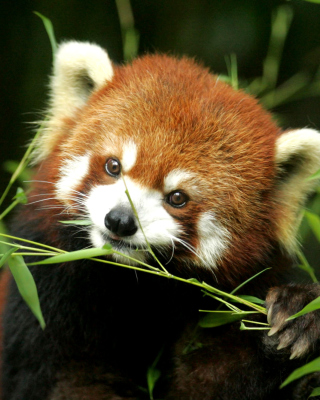 Free Bamboo Feast Red Panda Picture for Nokia Asha 306