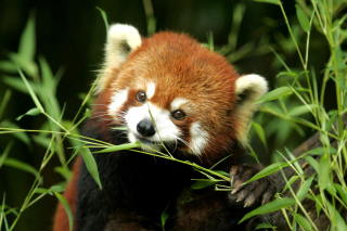 Bamboo Feast Red Panda sfondi gratuiti per cellulari Android, iPhone, iPad e desktop