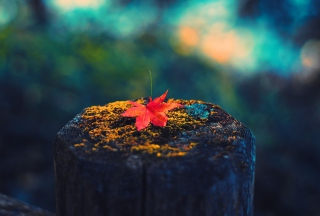 Lonely Maple Leaf - Fondos de pantalla gratis