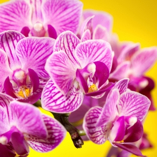 Pink orchid Background for iPad 3
