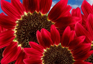 Red Sunflower Picture for Android, iPhone and iPad