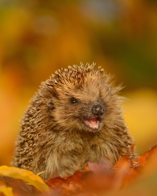 Hedgehog in Autumn Leaves sfondi gratuiti per 132x176