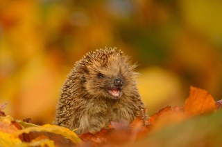 Hedgehog in Autumn Leaves Wallpaper for Android, iPhone and iPad