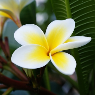 Plumeria Flower from Asia sfondi gratuiti per iPad mini