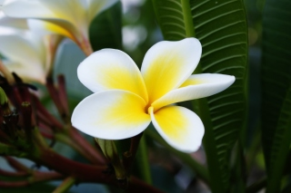 Plumeria Flower from Asia Background for Android, iPhone and iPad