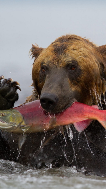 Screenshot №1 pro téma Grizzly Bear Catching Fish 360x640