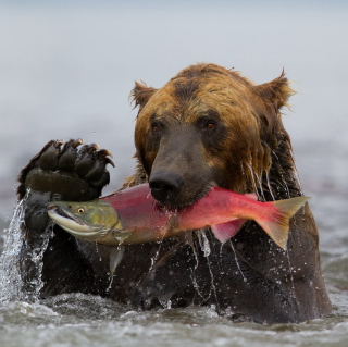 Grizzly Bear Catching Fish - Fondos de pantalla gratis para iPad 3