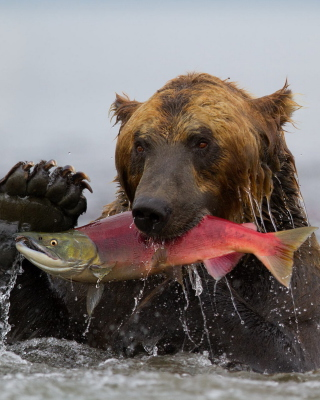 Grizzly Bear Catching Fish Background for Nokia 5800 XpressMusic