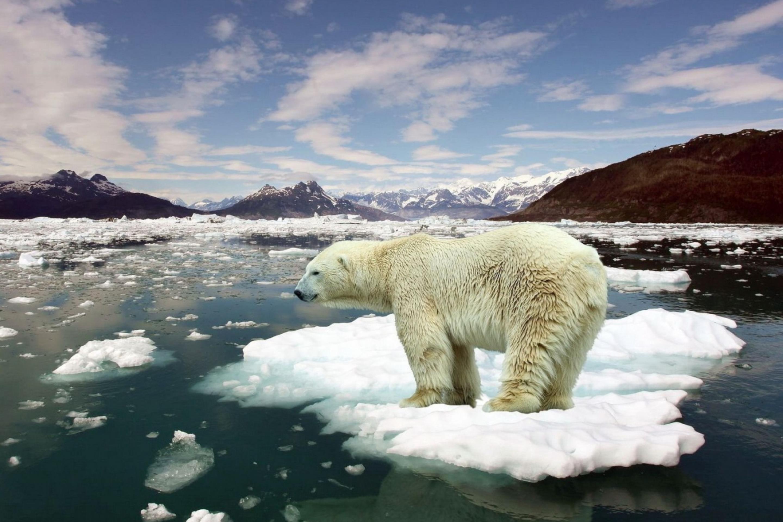 Белые медведи на льдинке загрузить