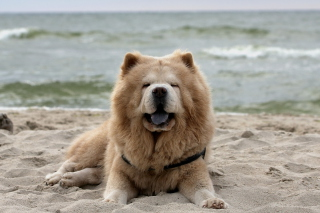Chow Chow On Beach Picture for Android, iPhone and iPad