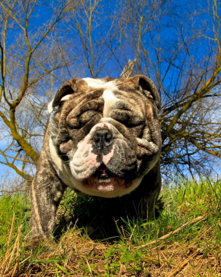 Bulldog Picture for Nokia C1-01