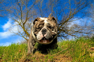 Bulldog Picture for Android, iPhone and iPad