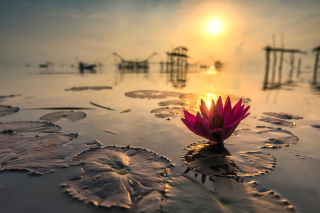 Lotus on Thailand Pond in Kumphawapi Background for Android, iPhone and iPad