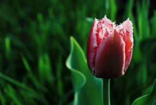 Pink Tulip sfondi gratuiti per cellulari Android, iPhone, iPad e desktop