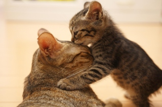 Free Kitten's Kiss Picture for Android, iPhone and iPad
