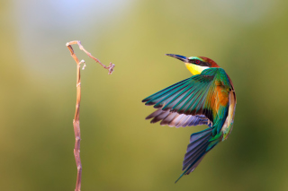 Golden Bee-Eater Wallpaper for Android, iPhone and iPad