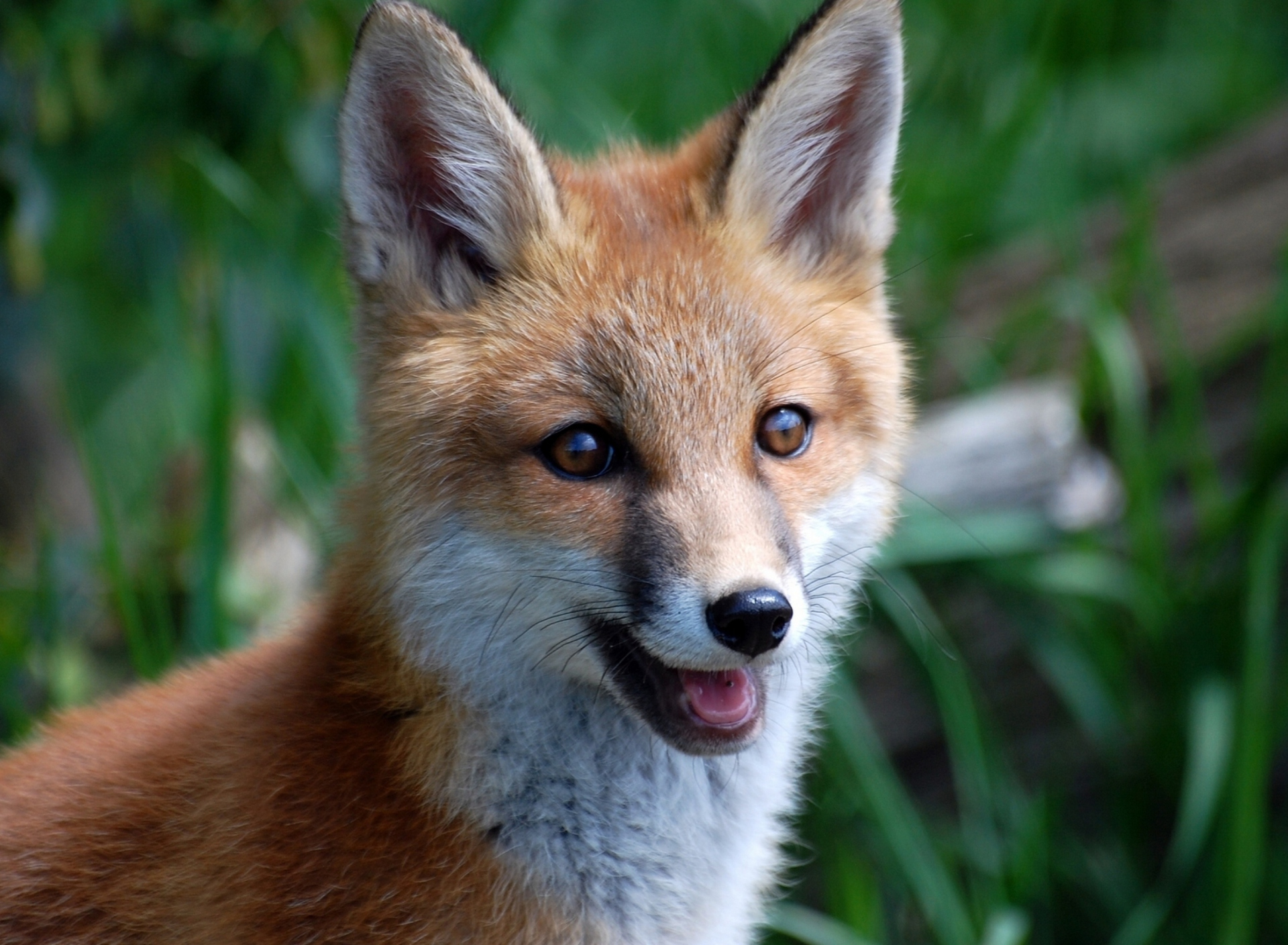 Smiling Muzzle Of Fox wallpaper 1920x1408