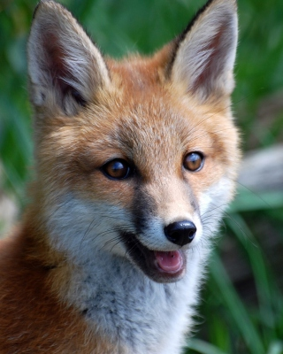 Smiling Muzzle Of Fox Wallpaper for HTC Titan