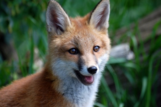 Smiling Muzzle Of Fox Picture for Android, iPhone and iPad